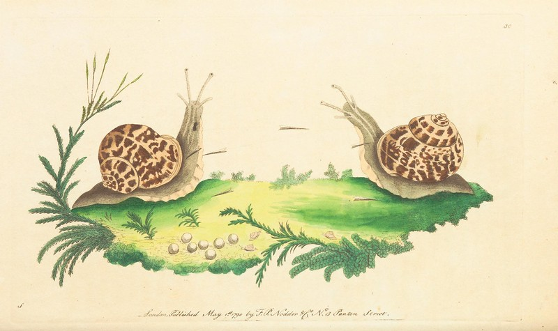 Image of garden snails from 1789-1813